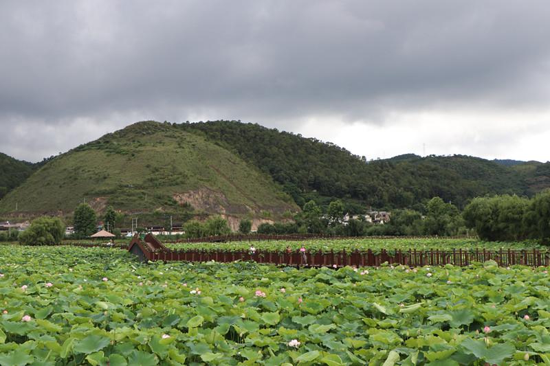 7月3日,在山邑社区野鸭湖湿地公园,游客在栈道上观赏盛开的千亩荷花.JPG_副本.jpg