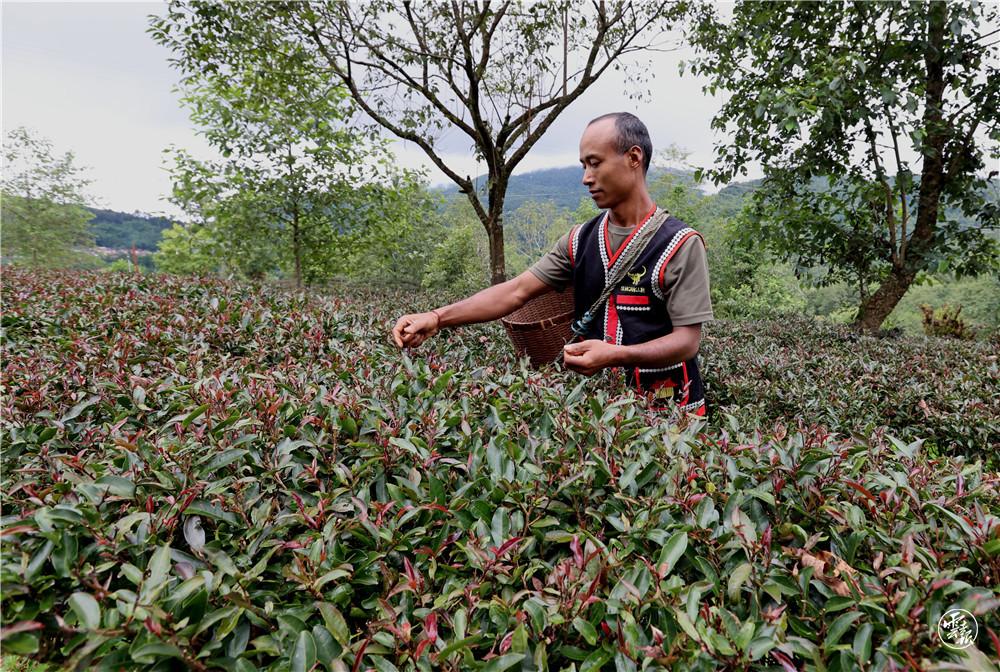 勐董镇芒摆村茶山一组茶农采摘秋茶(11195629)-20210822084752.jpg